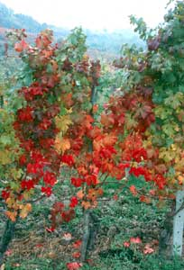 Photo of Dolcetto vine at Agriturismo Barbarossa.
